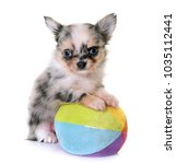 Stock photo puppy chihuahua in front of white background 1035112441