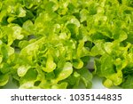 Small photo of Raw Green Oak Salad Lettuce Growing in Plastic Pipe in Hydroponics Organic Agriculture Farm System as Modern Agro industrial Farming.