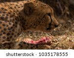 Small photo of Cheetah with it's Kill, kenya