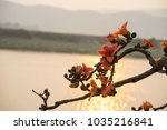branch of blossoming bombax... | Shutterstock . vector #1035216841