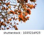 branch of blossoming bombax... | Shutterstock . vector #1035216925