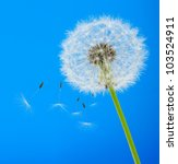 Dandelion On A Blue Background...