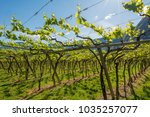 young green tender leaves of...   Shutterstock . vector #1035257077