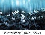 beautiful white spring anemone...   Shutterstock . vector #1035272371