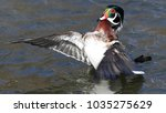 Small photo of Wood Duck Wing Flap