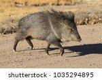 javelina in bosque del apache... | Shutterstock . vector #1035294895