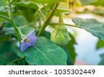 close up thai eggplant with... | Shutterstock . vector #1035302449