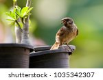 image of sparrow on a black... | Shutterstock . vector #1035342307
