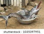 freshly caught fish in ghana   Shutterstock . vector #1035397951