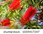 callistemon viminalis  weeping...   Shutterstock . vector #1035417247