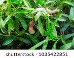 nepenthes. little predatory... | Shutterstock . vector #1035422851