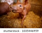 a small piglet in the farm.... | Shutterstock . vector #1035446959