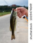 Small photo of A young fresh water largemouth bass
