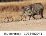 javelina in bosque del apache... | Shutterstock . vector #1035482041