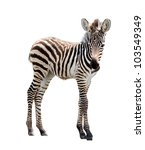 Young Male Zebra Isolated On...