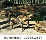 Small photo of lycaon wild dogs