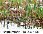 great crested grebe nests in... | Shutterstock . vector #1035524431