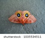 closeup of giant antheraea... | Shutterstock . vector #1035534511
