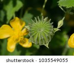 Small photo of Close up Green seed of Country mallow (Abutilon indicum)