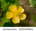 Small photo of Close up Yellow flower of Country mallow (Abutilon indicum)