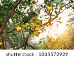 mandarin tree with ripe fruits. ... | Shutterstock . vector #1035572929