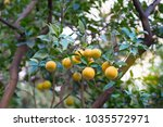 mandarin tree with ripe fruits. ... | Shutterstock . vector #1035572971
