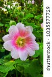 Small photo of Hollyhock flower (Alcea Rosea) in the park.