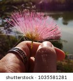 Small photo of Beautiful pink silk flower. (Albizia julibrissin)