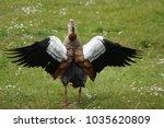 Beautiful Goose Opening His...