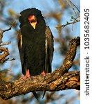 Small photo of Bateleur Eagle perched