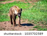 tired spotted hyena or crocuta... | Shutterstock . vector #1035702589