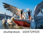 dalmatian pelican with long... | Shutterstock . vector #1035729535