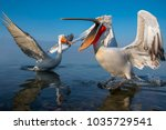 dalmatian pelican with long... | Shutterstock . vector #1035729541