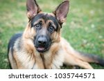 german shepard canine dog  | Shutterstock . vector #1035744571