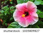 white and pink hibiscus in the... | Shutterstock . vector #1035809827