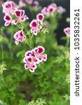 "geranium  ""angel eyes"" with... | Shutterstock . vector #1035832261"