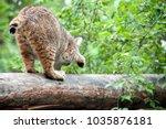 eurasian lynx  lynx lynx  is a...   Shutterstock . vector #1035876181