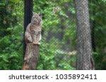 eurasian lynx  lynx lynx  is a...   Shutterstock . vector #1035892411