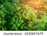 mint plant grow at vegetable... | Shutterstock . vector #1035897679