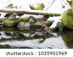 Small photo of Aix Galericulata - duck of mandarin male and female at lake in winter.