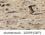 a tiny cute sparrow on a sandy... | Shutterstock . vector #1035912871