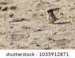 a tiny cute sparrow on a sandy... | Shutterstock . vector #1035912871