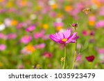 pink cosmos flower with blurred ... | Shutterstock . vector #1035923479