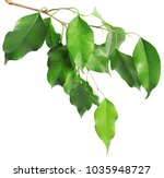 Leaves Isolated On White...