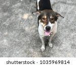 smile dog looking at camera... | Shutterstock . vector #1035969814