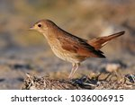 nightingale  luscinia luscinia  ... | Shutterstock . vector #1036006915