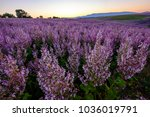 field of the clary sage.... | Shutterstock . vector #1036019791