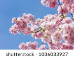 pink japanese cherry blossom in ... | Shutterstock . vector #1036033927
