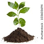coffee plant tree growing... | Shutterstock . vector #103603694