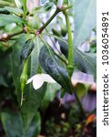 Small photo of Growing Pistil of Chili
